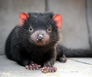 cute animals and tasmanian devil image