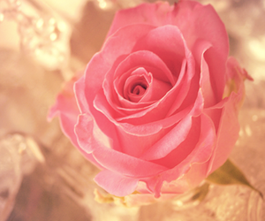 beautiful, pink, and rose image