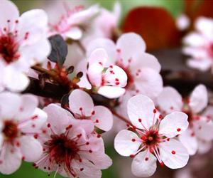 apples, flowers, and apple blossons image