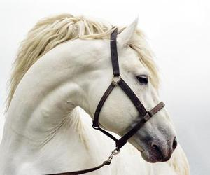 horse, white, and animal image