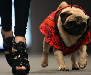 pug, fashion, and dog image