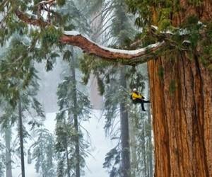 california, redwood, and tree image