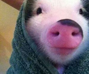 animals, little pig, and love image