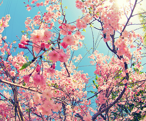 blossoms, flowers, and spring image