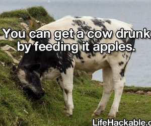 apples, cows, and funny image