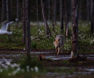 forest, gull, and wolf image