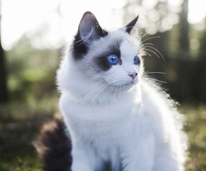 beautiful, blue eyes, and cat image