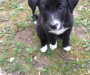 baby, border collie, and dog image