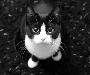 black and white, cat, and animaux image