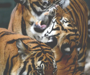 animal and tigers image