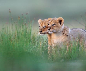 sweet, tigers, and cute image