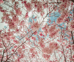 nature, spring, and cherry image