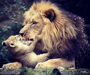 lion, baby, and father image
