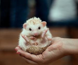 animal, funny, and hedgehog image