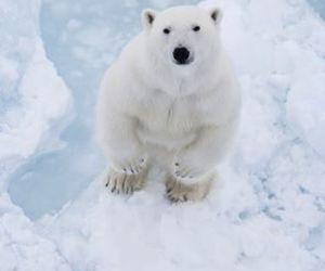 ice, animal, and bear image