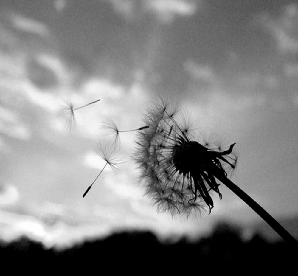 Dandelion Black White Flower Picture And Photo Imagesize 106 Kilobyte