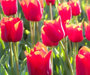 colorful, tulip, and field image