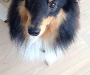 sheltie and cute image