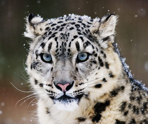 leopard and snow image