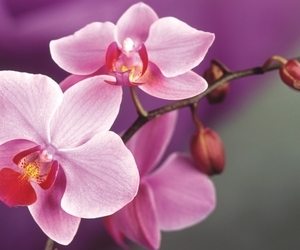 flowers, orchids, and pink image