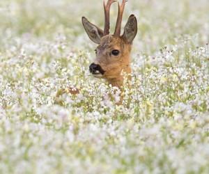 flowers, deer, and animal image