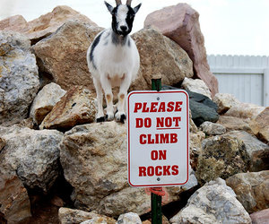 goat, funny, and animal image