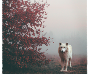 white, white wolf, and wolf image