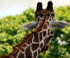 giraffe, nature, and photography image