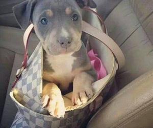 pitbull, puppy, and say no to pitbull figth image