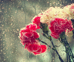 beautiful, carnation, and flowers image