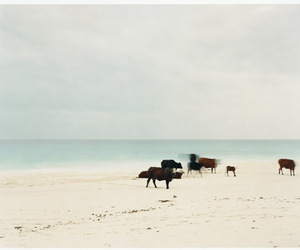 beach, cows, and anders krisar image