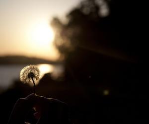 dandelion, evening, and sunset image