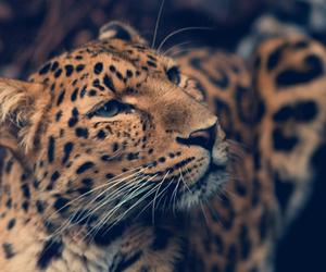 animal, wild, and cat image