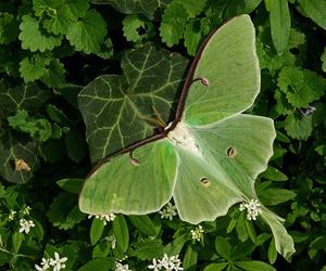 beautiful, green, and luna moth image