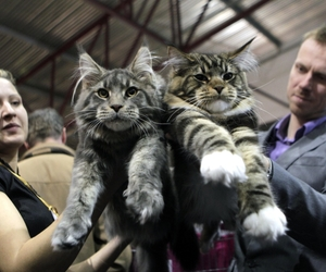 cat, kitty, and maine coon image