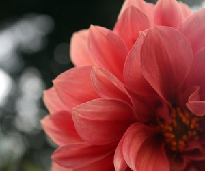 flor, pink flower, and rafinroll image