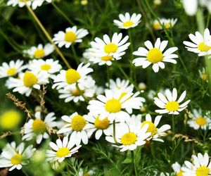 beautiful, daisy, and flowers image