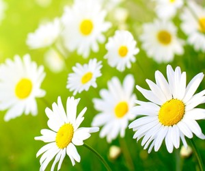 daisies, flower, and white image