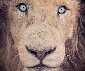 lion and eyes image
