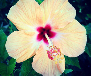flower, hibiscus, and pink image