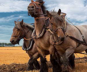 horse, draft horses, and tradition image
