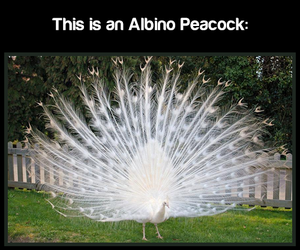 fact, peacock, and tumblr image