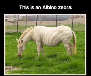 animals, fact, and zebra image