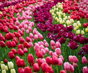 field, shabby chic, and tulips image