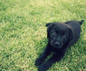 baby, black, and labrador image