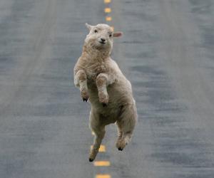 sheep, animal, and funny image