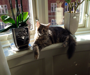 cat, maine coon, and love image