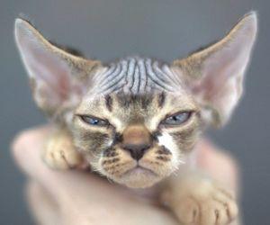 kitten and devon rex image