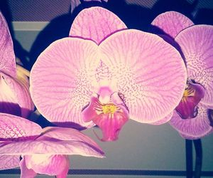 flower, pink, and orchidea image