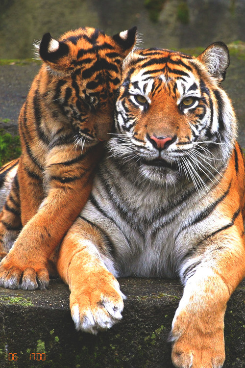 135 Images About Tiger Cute 3 On We Heart It See More About Tiger